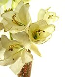 Amaryllis. White amaryllis flecked with gold sparkles in a glass mosaic vase - shallow DOF Royalty Free Stock Photos