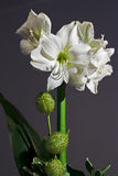 Amaryllis. Closeup, format filling, white and green royalty free stock images