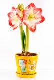 Amaryllis Royalty Free Stock Images