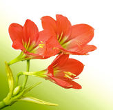Amaryllis. Flowers such as drugs.As a medicinal plant in Asia Stock Photography