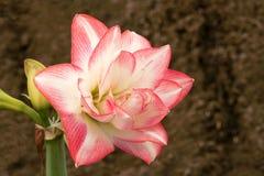 λουλούδι amaryllis Στοκ φωτογραφία με δικαίωμα ελεύθερης χρήσης
