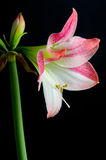 Amaryllis. Pink amaryllis isolated on black Stock Photo