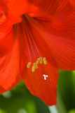 Amaryllis Royalty Free Stock Photo