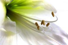 amaryllis Arkivbilder