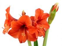 Amaryllis. Red Amaryllis isolated on white background Royalty Free Stock Photo
