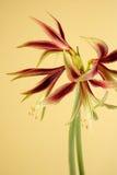 Amaryllis. Studioshot of amaryllis flowers, hippeastrum Lima Royalty Free Stock Photos