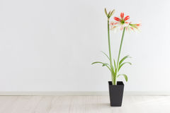 Amaryllis. Potted amaryllis in a room stock photo