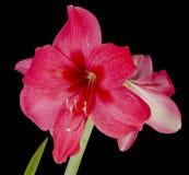 Amaryllis. Red amaryllis flower isolated on black background Stock Photos