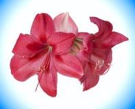 Amaryllis. Two Pink Flowers of amaryllis isolated Stock Photo