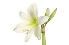Amaryllis royalty-vrije stock afbeeldingen
