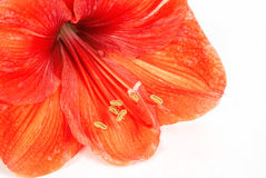 Amaryllis Royalty Free Stock Photography