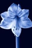 amaryllis Fotos de archivo libres de regalías