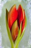 amaryllis imagen de archivo