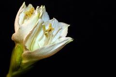 amaryllis Fotografie Stock Libere da Diritti