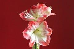amaryllis Stockbild