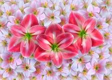 amaryllis photographie stock