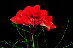 amaryllis Photo libre de droits