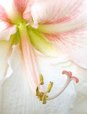 Amaryllis. Close-up detail of pink and white amaryllis bloom stock photo