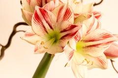 amaryllis photographie stock libre de droits