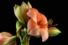 amaryllis Photos stock