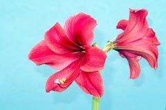 amaryllis Foto de Stock