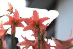 amaryllis photos stock