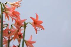 amaryllis Lizenzfreies Stockfoto