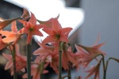 amaryllis Lizenzfreie Stockfotografie