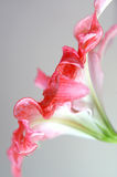 Amaryllis. Elegant side-view of an amaryllis flower Stock Photography