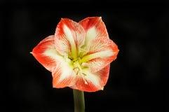 Amaryllis against black. Amaryllis flower isolated against black Royalty Free Stock Photo