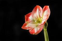 Amaryllis against black. Amaryllis flower isolated against black Stock Photography