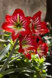 Amaryllis (Amaryllidaceae) flower Royalty Free Stock Images