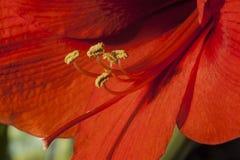 Amaryllis, Amaryllis belladonna Royalty Free Stock Image