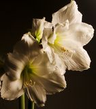 Amaryllis B. Two Amaryllis Flowers illuminated by single light source stock images