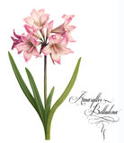 Amaryllis belladona illustration. Stock Image