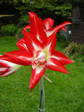 Amaryllis (A. belladonna) Royalty Free Stock Photos