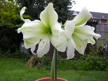 Amaryllis (A. belladonna) Stock Photo