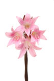 Amaryllis Belladonna. Flowers isolated against white royalty free stock images