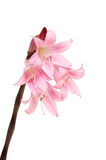 Amaryllis Belladonna. Flowers isolated against white royalty free stock photos