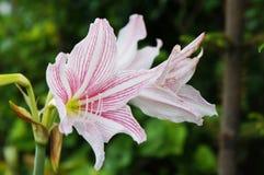 Amaryllis Belladonna Lily Royalty Free Stock Image
