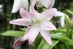 Amaryllis Belladonna Lily närbildskott i trädgård mot blurr royaltyfri foto