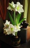 Amaryllis belladonna 2 Royalty Free Stock Photos