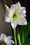 Amaryllis belladonna Royalty Free Stock Images
