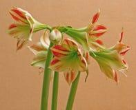 Amaryllis bicolore Photos libres de droits