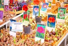 Amaryllis-Birnen zu Bloemenmarkt Amsterdam Lizenzfreie Stockfotos