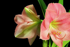 Amaryllis on black Stock Photo