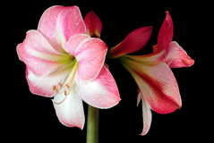 Amaryllis on black  background Royalty Free Stock Images