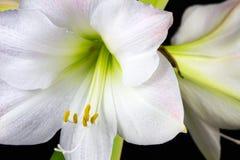 Amaryllis blanche Images libres de droits