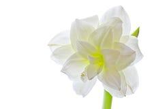 Amaryllis blanche (espèce de hippeastrum) d'isolement Image libre de droits