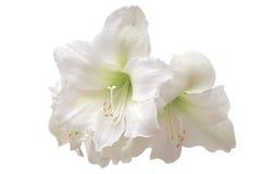 Amaryllis blanco Imagen de archivo libre de regalías